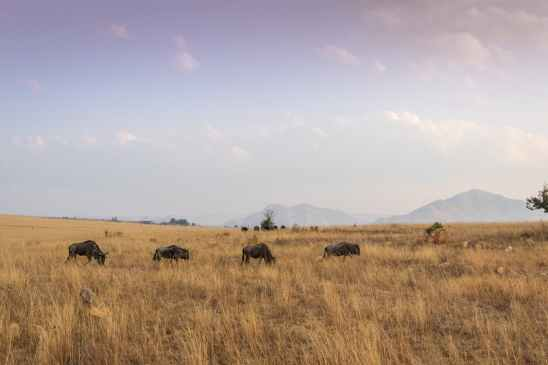 four black water buffalo on brown grass field