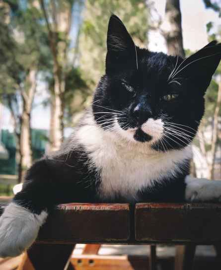 short fur black and white cat