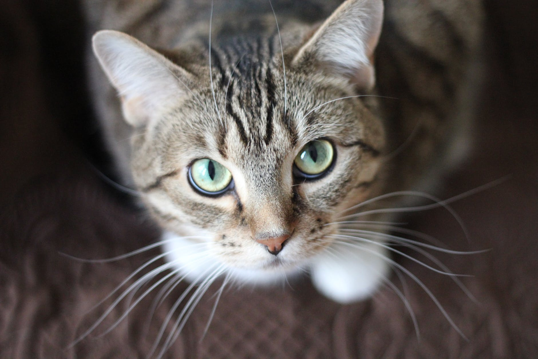 cat whiskers kitty tabby