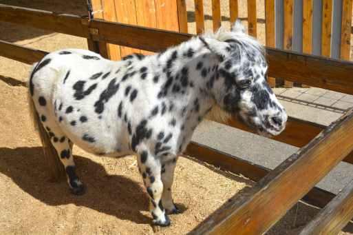 white and black pony